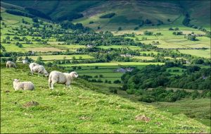 Sheep Near Castleton, Peak District by UK-Shots