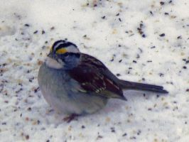White-throated Sparrow (4619) by NIJMI3SKIJLL