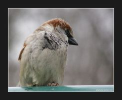 Sparrow (001) - little sparrow by Sikaris