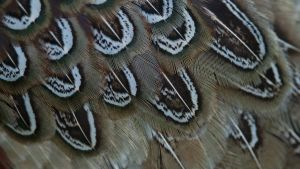 Pheasant Feathers 01 by 88-Lawstock