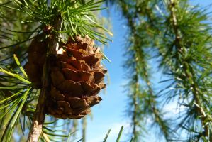 Little larch cone by SaphiraSwirl