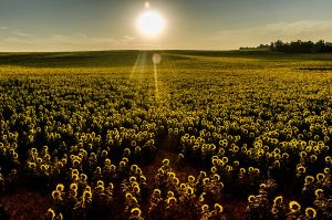 07:24 | Sunflowers awakening by OlivierAccart