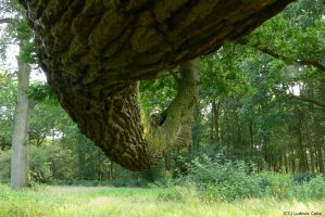 UK - Savernake Oak 03 by Ludo38
