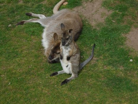 Wallaby 005 by Vande-Bot