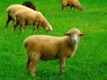 Sheep by CultureQuest