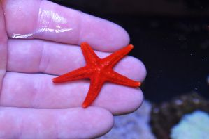 red linkia starfish by sethhanbury