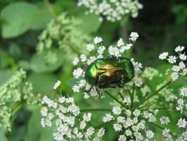 Rose chafer by AnastasieLys
