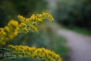 Golden Rod by Manbehindthelens