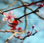 Blossom by Hitomii
