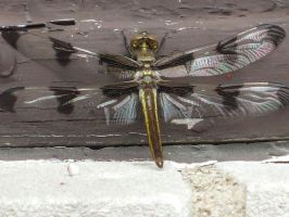 Dragonfly 1 by greenlee4
