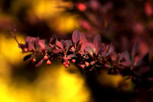 Berberis II by Freya7