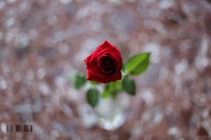 Red Rose by DionysosBacchus