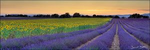 Lavender and Sunflower by samuelbitton