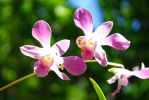 Pink Dendrobium? by saddened-Lines