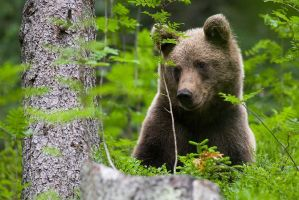 Brown bear by JMrocek