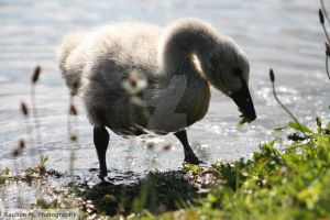 Black Swan's Chick by Reub-o-tographer