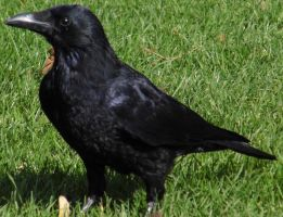 Carrion Crow by nik79mufc