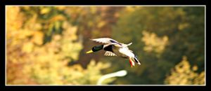 Duck Flight by superjuju29