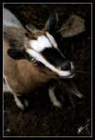 Smiling Goat. by belialrage
