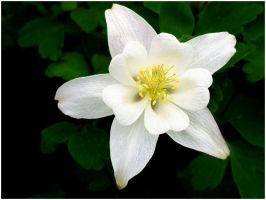 WHITE COLUMBINE by THOM-B-FOTO