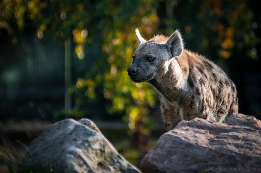 Spotted hyena by amrodel