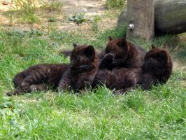 2014 - Black leopard cubs 6 by Lena-Panthera