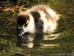 baby duck by BeCrew