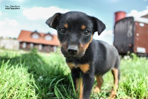 Little male puppy by IJPhotography