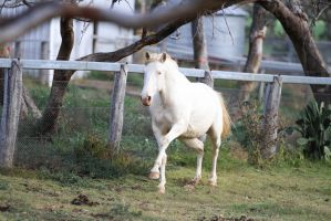 HH Lusitano canter front view by Chunga-Stock