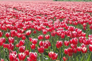 Tulipfield by rblokker