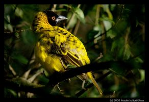 Village Weaver I by KeezRha