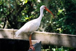 White Ibis by Marina1