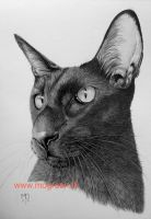 Oriental Shorthair Cat in Graphite by mo62