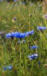 cornflowers stock by jennomat