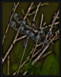 HDR dragonfly by cove314