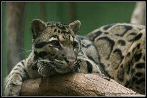 Clouded leopard II by AF--Photography