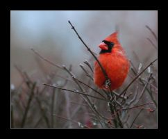 Male Cardinal by thequiet1
