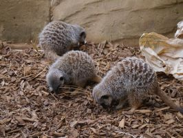 Comparing Meerkats by Party9999999