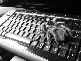 tarantula by steweeherman
