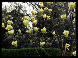 Yellow magnolia by Emanuelle