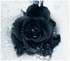 Black Rose by Galilea