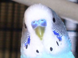 Budgie Face by Pyro-Samantha
