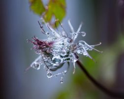 Wet clematis 2 by Yollanda
