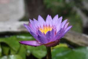 water lilly 1089 by fa-stock