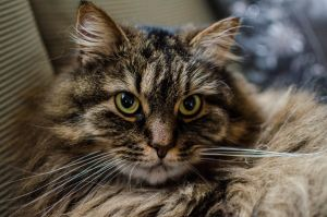 Norwegian forest cat 3 by Ainanas