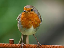 Robin II by MDGallery