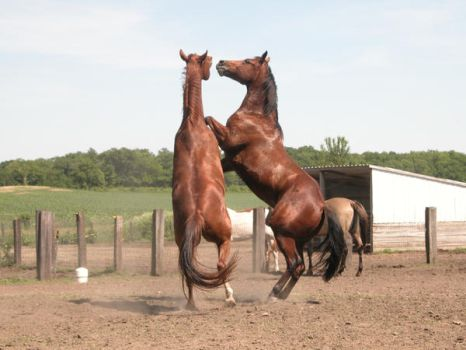 Rearing Horse Stock by StridingStrong-Stock