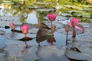 Water lily Stock 10 by Malleni-Stock