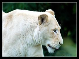 Timbavati White Lioness by Sonny2005