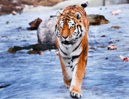 AMUR TIGER Stock by PictureByPali